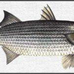 Łowienie tępogłowów